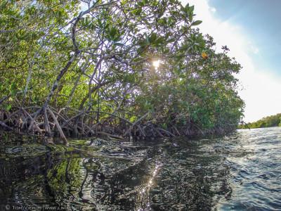 Mangroven bilden Lebensräume für eine Vielzahl bedrohter Tierarten. © Tom Vierus
